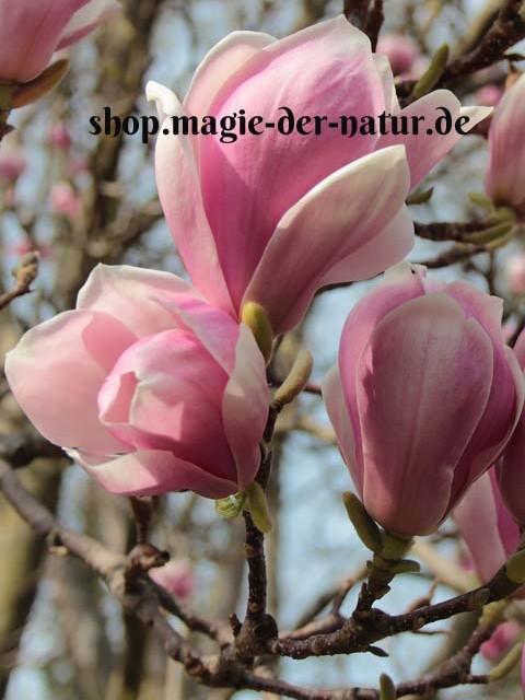 Magnolia_Shop
